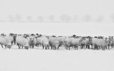 Τόσο απείθαρχοι και τόσο πρόβατα….